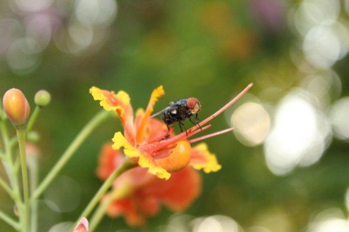 Lalat yang beralih menggantikan tugas sang kumbang